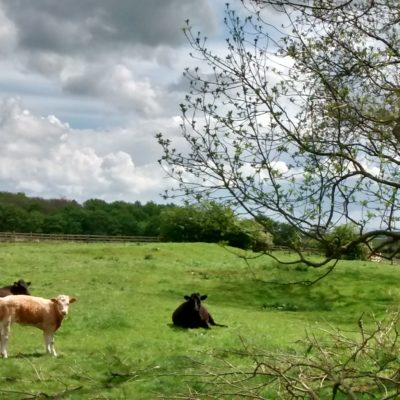 A View Towards Hilton With Cows In A Field
